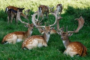 Three Deer by Tina Phillips http://www.freedigitalphotos.net